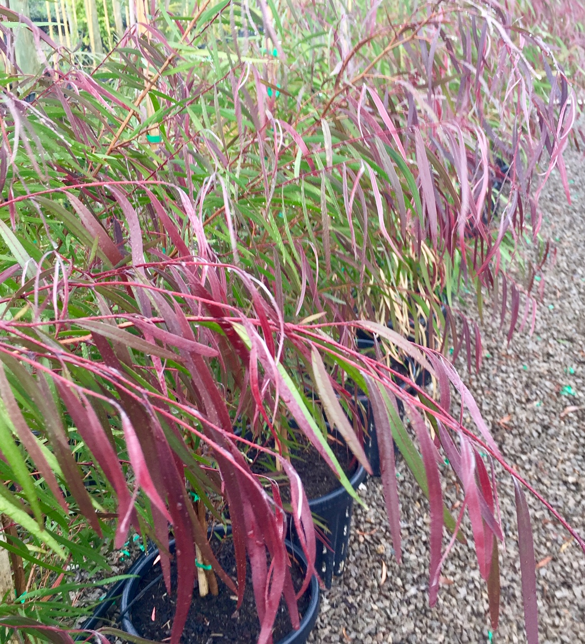 Agonis flexuosa 'Burgundy' – BURGUNDY WILLOW MYRTLE