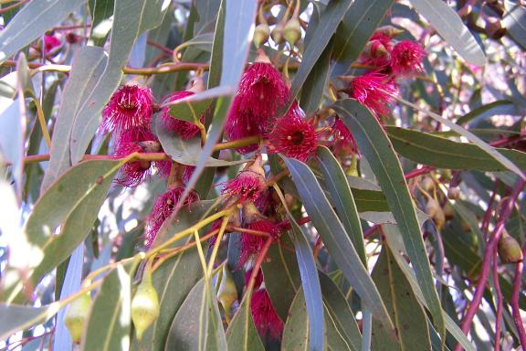 Eucalyptus leucoxylon 'Rosea' – RED FLOWERING YELLOW GUM